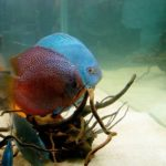 ディスカス稚魚の育成方法では水温に注意!