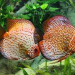 熱帯魚の王様と称される「ディスカス」!種類とその特徴!