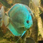 ディスカスが稚魚を食べてしまう理由とその対策!
